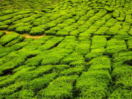 greem: greem tea on the moutain in highland Stock Photo
