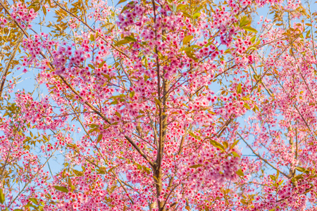 Close Up -Wild Himalayan Cherry - Prunus. Cerasoides - Flowers blossom queen tiger ready to welcome you in this beautiful winter without losing a drop of Japanese cherry blossoms, certainly Thailand