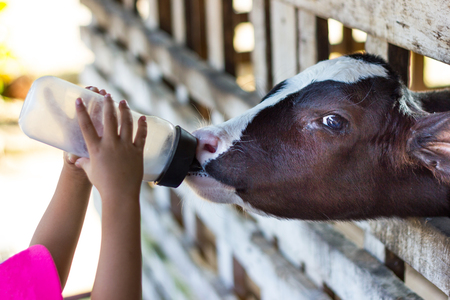 Closeup - Baby cow feeding on milk bottle by hand child in Thailand rearing farm.
