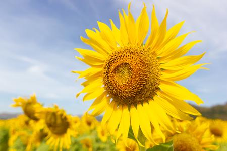Closeup Beautiful of a Sunflower or Helianthus in Sunflower Field, Bright yellow sunflower Lopburi, Thailand Archivio Fotografico