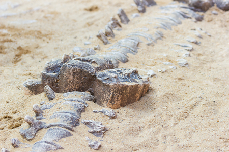 Dinosaur fossil simulator excavation in sand for education and learning Stock Photo