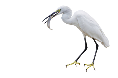 Eastern Great Egret Eating Fish In Mount - isolated  copy space