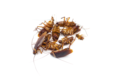 Cockroaches die from Bug Sprays isolate white background Stockfoto