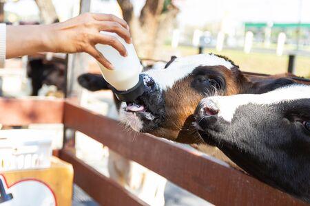 Closeup - Baby cow feeding on milk bottle by hand women in Thailand rearing farm.