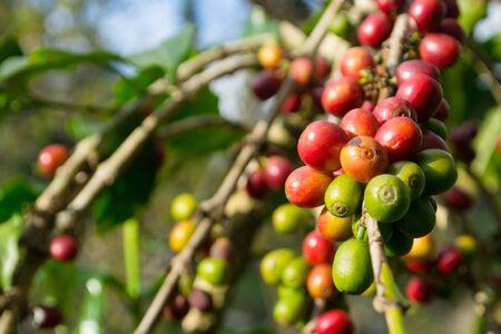 coffee bean plant of economy