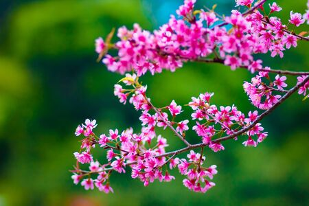 Branch with pink sakura blossoms in Thailand