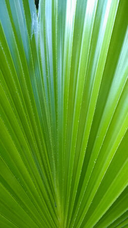 diagonal lines: Palm leaf with diagonal lines