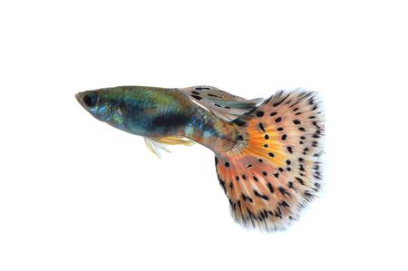 guppy fish: guppy fish isolated on white background