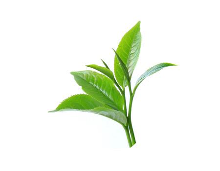 tea plant: Green tea leaf isolated on white background