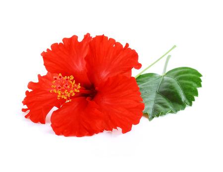 白い背景で隔離赤いハイビスカスの花