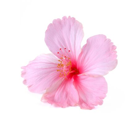 malvaceae: Pink hibiscus flower isolated on white background