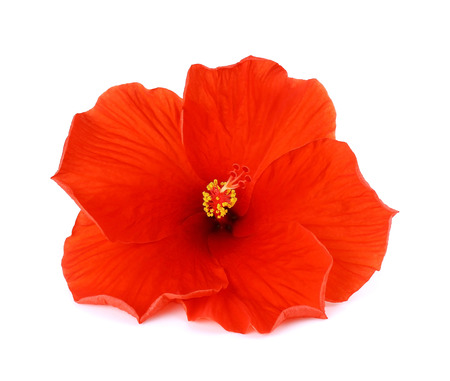 the flower isolated: red hibiscus flower isolated on white background Stock Photo