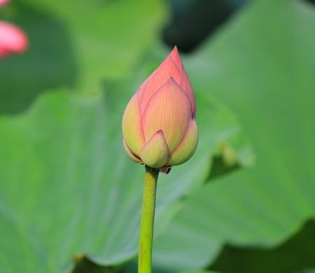insists: Lotus flower Stock Photo
