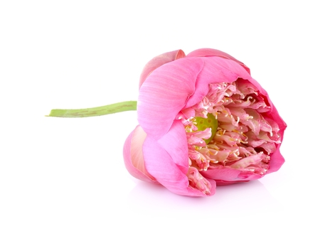 Pink lotus isolate on white background