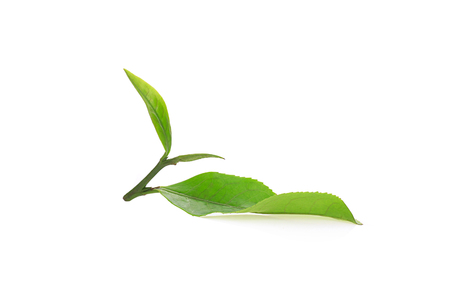 Freshly cut tea leaves on a white background.