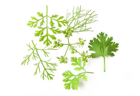 Set of coriander leaf isolated on white background