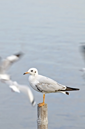 gracefully: Sea gull gracefully poses Stock Photo
