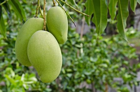 Mango hanging on tree photo