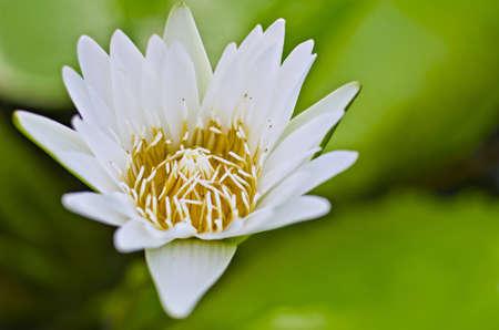lotus is white  photo