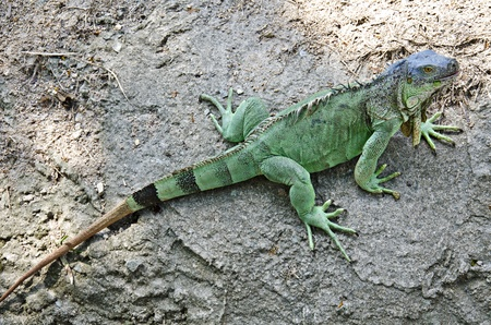 Green Iguana on ground photo