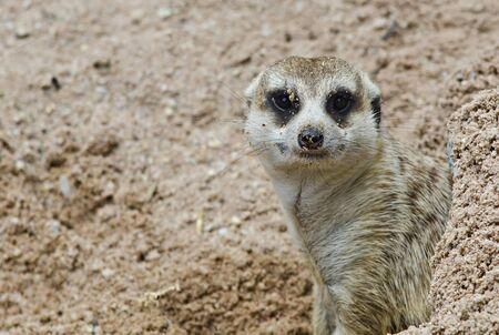 Meerkat in its burrow Stock Photo - 13181045