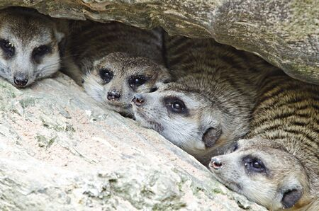 animal den: stayying are combination group crowd  Stock Photo