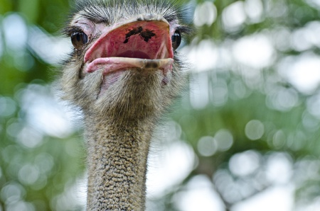 Close-up Head Shot of One Ostrich Stock Photo - 13181070