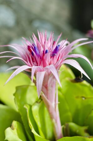 Blooming Pink Bromelia en Islas de Hawai photo