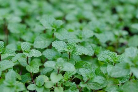 Growing mint in organic farm photo