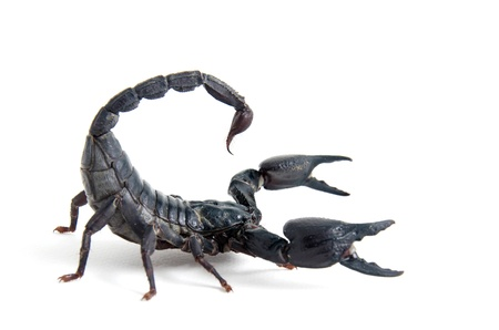 Scorpion crawling in combat position