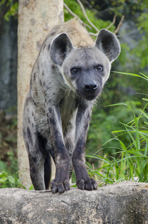 Close-up portrait image of a Spotted Hyena standing amongst the rocks photo