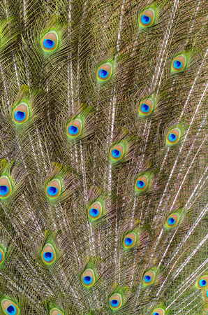 pattern of colorful peacock feathers photo