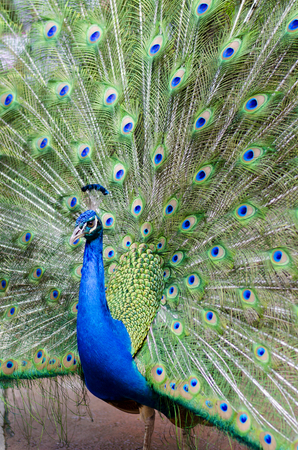 flaunt: Peacock with his tail feathers on display to attract a mate.