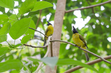 Black-crested Bulbul couple bird in nature catch on the branch photo