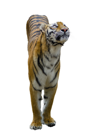 Adult tiger. Isolated over white background with shade photo