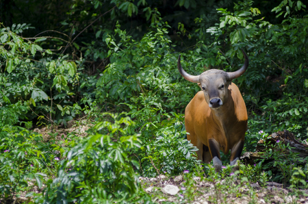 Banteng or Red Bull taken on a sunny afternoon Stock Photo - 33044853