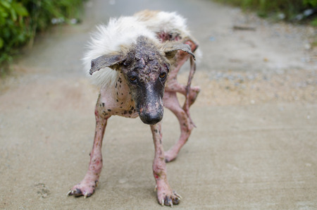Scabies dog white fur feeling pain outdoor Stock Photo