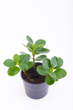 Young plant in pot isolated on the white background photo