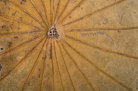 Dry lotus leaf in summer