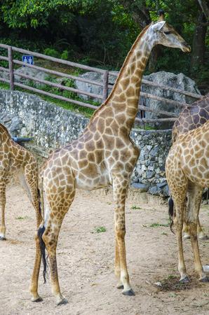giraffes in wild animal park Stock Photo