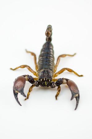 Scorpion Pandinus imperator isolated on white