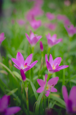 Close up pink Amarylieaceae flower blossom (Zephyranthes). Stock Photo
