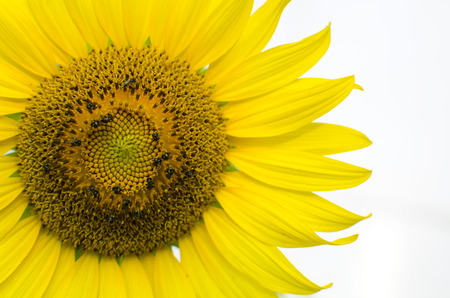 Close up of part of a sunflower head being pollinated by a honey bee burgeoning with pollen Stock Photo