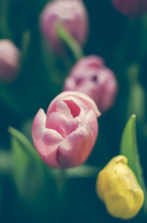 Multi coloured tulips and daffodils on nature background Stock Photo