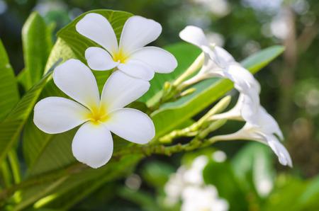 frangipani (plumeria) flower on natural background - shallow dof