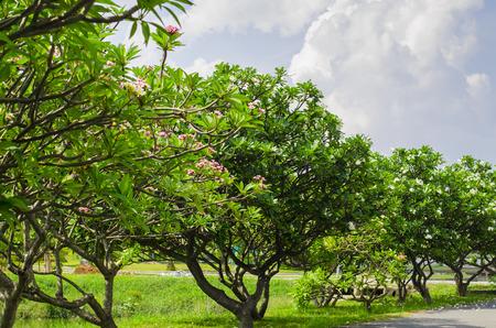 frangipani trees against blue sky in the park