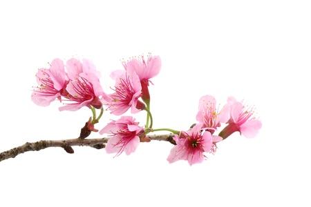 줄기: Cherry blossom ,sakura flower, isolated on white background  스톡 사진