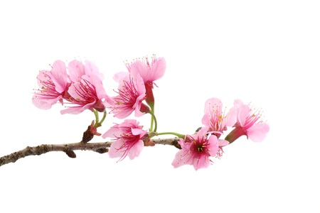 Kwiat wiÅ›ni, kwiat sakura, na biaÅ'ym tle Zdjęcie Seryjne