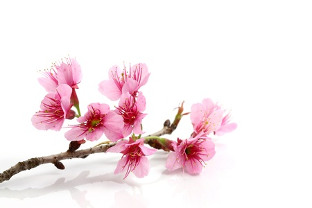 japanese garden: Cherry blossom , pink sakura flower  Stock Photo