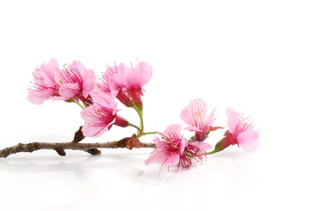 sakura flowers: Cherry blossom , pink sakura flower  Stock Photo